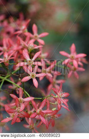 Red Sepals Of The New South Wales Christmas Bush, Ceratopetalum Gummiferum, Family Cunoniaceae. Occu