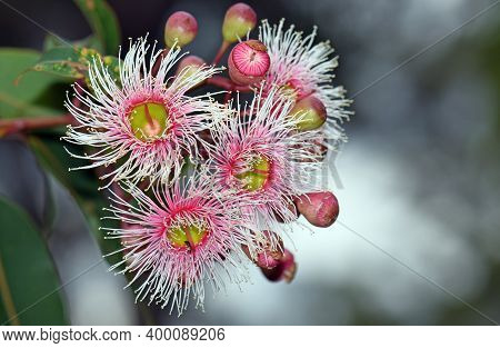 Pink And White Blossoms And Buds Of The Australian Native Corymbia Fairy Floss, Family Myrtaceae. Gr