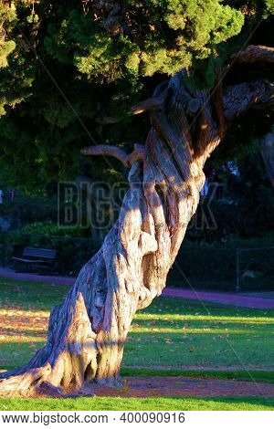 Twisted Bark On A Windswept Juniper Tree Surrounded By A Manicured Lawn At A Garden In A Residential