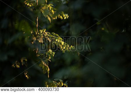 Hops being grown on a field - necessary ingredient for beer brewing