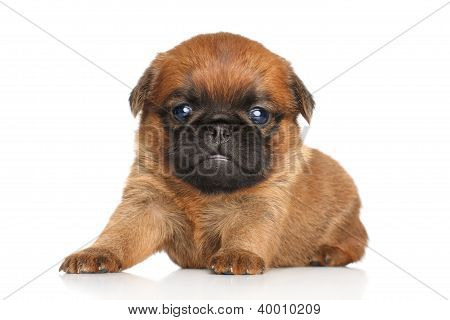 Brabanson Griffon Puppy
