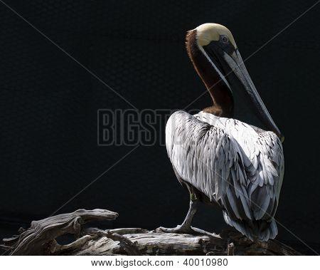 Pelican in the Light