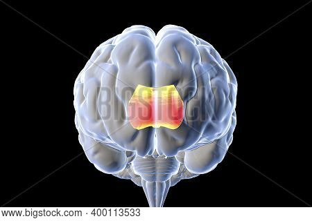 Human Brain With Highlighted Corpus Callosum, Also Known As Callosal Commissure, 3d Illustration. It