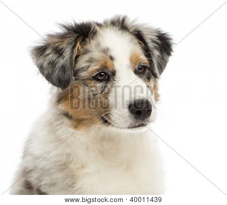 Close up of an Australian Shepherd puppy, 3 months old, looking away against white background