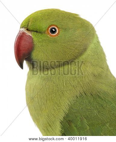 Close up of a Rose-ringed Parakeet, Psittacula krameri, also known as Ring-necked Parakeet against white background