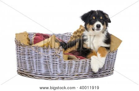 Australian Shepherd, 3 months old, lying in dog bed against white background