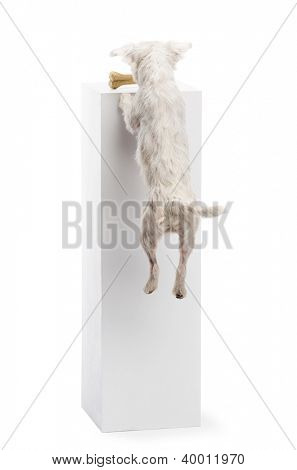 Parson Russell terrier jumping at a bone on a pedestal against white background