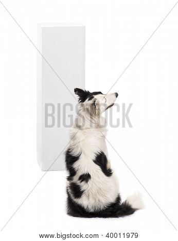 Rear view of a Border Collie sitting in front of a pedestal against white background