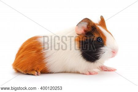 Small Guinea Isolated On White Background. Funny, Guineapig.