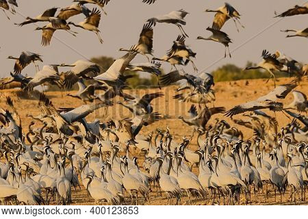 Large Flocks Of Demoiselle Cranes Also Known As Grus Virgo Flying And Migrating For The Winters In R