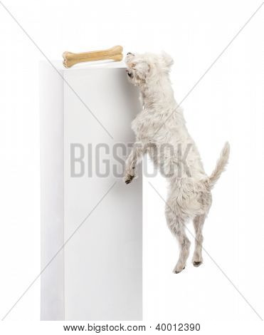 Parson Russell terrier jumping to reach a bone on a pedestal against white background