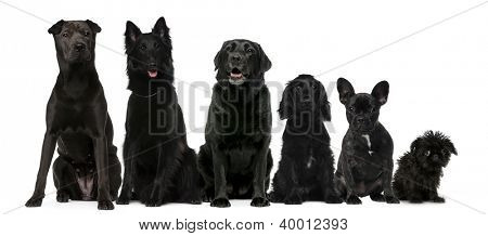 Group of black dogs sitting, from taller to smaller against white background