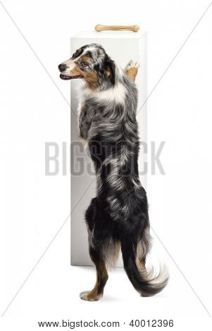Australian Shepherd standing on hind legs and trying to reach a bone on the top of a pedestal against white background