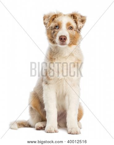Australian Shepherd puppy, 3.5 months old, sitting and looking at camera against white background
