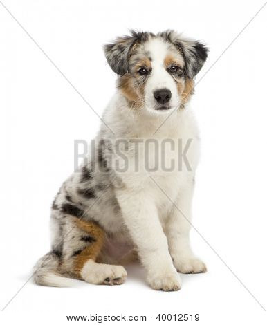 Australian Shepherd puppy, 3 months old, sitting and looking at camera against white background