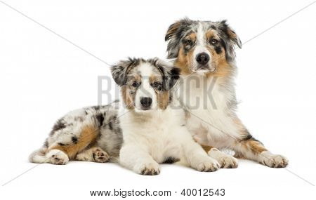 Australian Shepherd puppy, 3 months old, lying next to its mother against white background