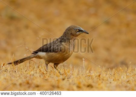 A Large Grey Babbler Siting On The Ground With Blur Background
