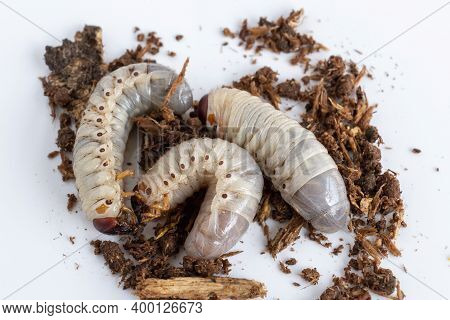 Grub Worms Or Rhinoceros Beetle Grow In Soil On Farm Which Agriculture Gardening. Worm Insects For E