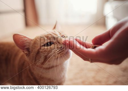Woman Is Feeding Cat, Cat Eats From Female Hands
