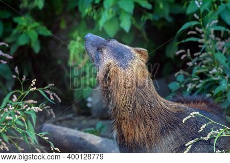 Wolverine Or Glutton, Carcajou Or Skunk Bear Hunts In The Grass