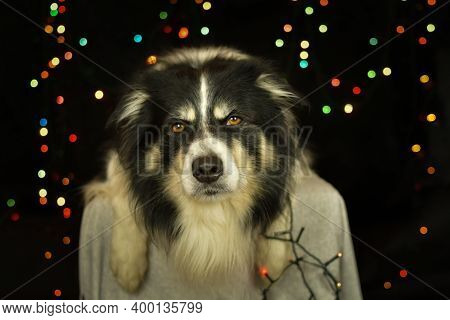 Christmas Photo Of Border Collie. Photo From Photo Studio With Christmas Light Background.