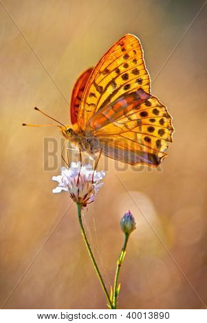 Silver-Washed fritillary yellow Butterflie on a flowers