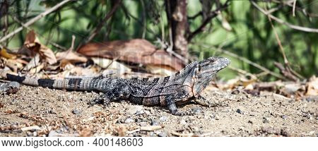 Monitor Lizard Or Large Lizard, In The Tropical Jungle. Monitor Lizards Are A Genus Of Lizards Of Th