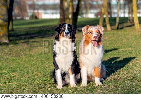 Portrait Of Two Australian Shepherd Dogs In Park An Outdoor
