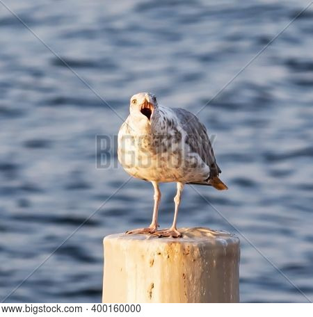 A Seagul I Standing On A Wood Pylon With Beak Wide Open Screaming.
