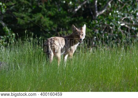 Canadian Coyote Standing In The High Grass In The Rocky Mountains