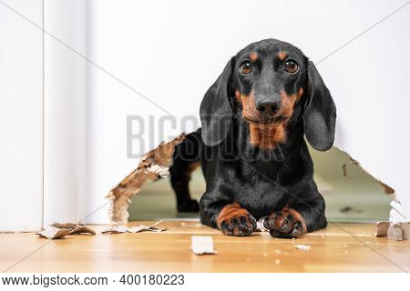 Mess And Naughty Dachshund Puppy Was Locked In Room Alone And Chewed Hole In Door To Get Out. Poorly