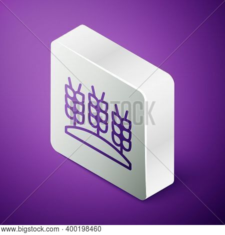 Isometric Line Cereals Set With Rice, Wheat, Corn, Oats, Rye, Barley Icon Isolated On Purple Backgro