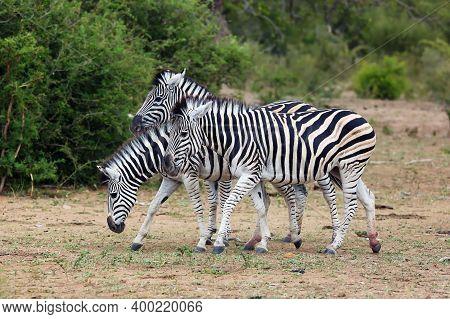 The Plains Zebra (equus Quagga, Formerly Equus Burchellii), Also As The Common Zebra Or Burchell's Z