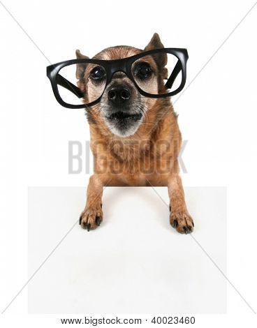 a hipster chihuahua with glasses on poster