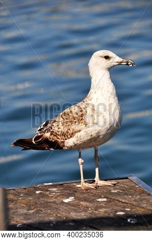 Large Seagull On The Background Of The Calm Sea. Seagull Sitting On A Wooden Platform.