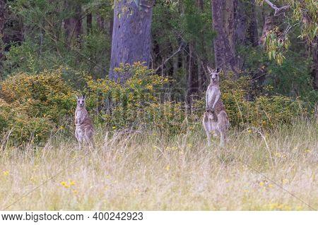 Australian Grey Kangaroos Grazing In The Outback In A Green Field In Regional Australia