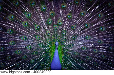 Peacock Showing His Majestic Tail During The Mating Season