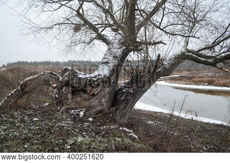 Two Old Willows And A Fancy Stump, Covered With Snow By The River. Riverside Wild Countryside Nature