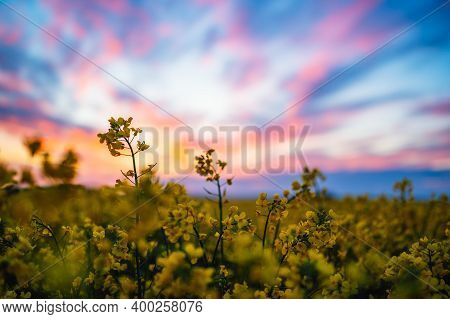 Close Up Of A Yellow Rapeseed Flower. In The Background Is A Colorful Sunset And An Entire Rapeseed