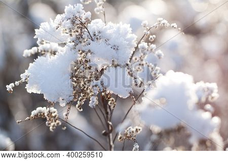 Beautiful Branch Of A Dry Faded Goldenrod Plant Covered With Fluffy Snow With Piece Of Ice And Cryst