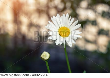Pair Of Two Beautiful Blossoming Yellow And White Chamomile Flower Dew Drops At Morning Sunrise Time