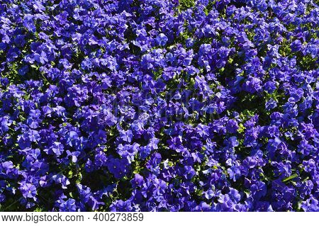 Beautiful Purple Violet Viola Flowers In The Summer Garden, Fragrant Purple Violet Field