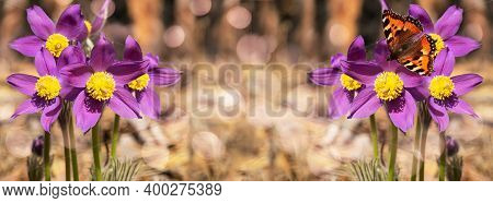 Unfocused Widescreen Forest Background With Blooming Snowdrops And A Butterfly
