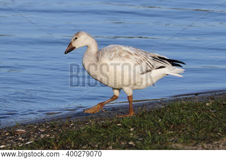 A Snow Goose - Chen Caerulescens - Walking Near A Blue Lake During Migration In Florida
