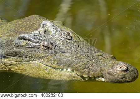 Close Up Of The Head Of A Large Saltwater Crocodile In Murky Water