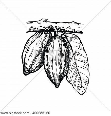 Cocoa Beans Illustration. Hocolate Cocoa Beans. Vector Sketch On White Background