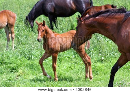 Mare Scolds Foal