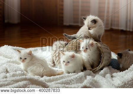 Fluffy Kittens On White In A Plaid. Bicolor Rag Doll Cat At Home