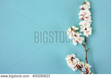 Sprigs Of The Apricot Tree With Flowers On Blue Background. Place For Text The Concept Of Spring Cam