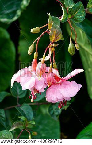 Beautiful Pink Fuchsia Flowers In The Summer Garden.